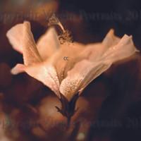 Hibiscus Bloom pro texture