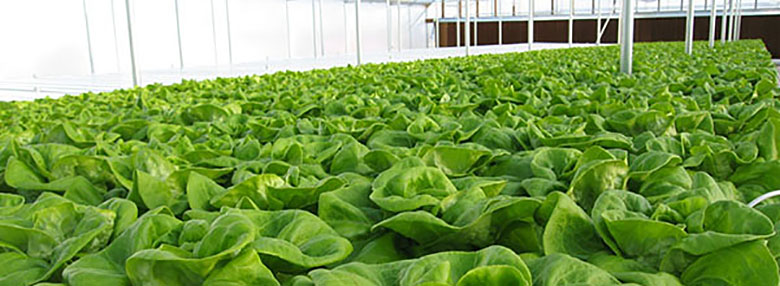 Hydroponics Quick Information For Growing At Home
