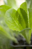 lettuceplantcloseup.jpg