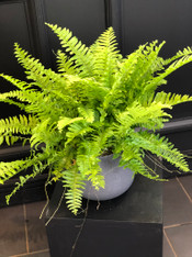 Bertie - Boston Fern