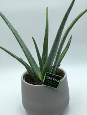 The most famous of the Aloe family, the Aloe Vera is a super easy plant to care for - it tolerates being forgotten about for long periods of time so if you're irregular with your watering habits, this is the one for you. It's also perfect for sun worshippers who tend to overdo it - just snap one of the stems and rub the sap straight onto skin for instant relief. Keep it in a bright spot and only water once the soil has dried thoroughly.