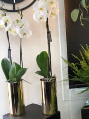 Luxury Phalaenopsis Orchid