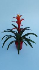 A Beautiful unusual tropical plant, which is easy to look after and very long lasting.