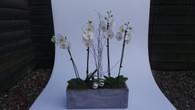 Deluxe Phalaenopsis  Planter