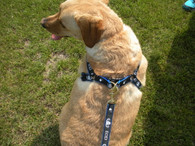 EOD harness on our Lab, Marley!