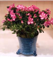 Gorgeous Azalea in Chalet Pot