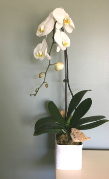 White linen cube with large orchid plant