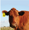 Vulcan RFID Custom Animal Identification Tag (UHF) - Cattle | VR-AIT-C