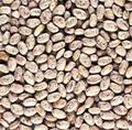 Wholesale Pinto III Bean Seeds