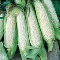 Trucker's Favorite White Corn   2