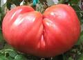 Giant Belgium Tomato SEEDS-BULK