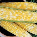 HONEY & CREAM F1 SWEET CORN-WHOLESALE-50 POUNDS