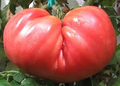 Whosale Giant Belgium Watermelon