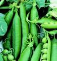 Wholsale Wando Pea Seeds