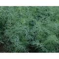 Dukat Dill Seeds