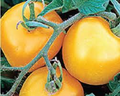 Yellow Prefection Tomato Seeds