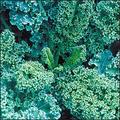 Kale Seeds/Dwarf Blue Curled