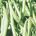 Wholesale Kentcky Wonder Bush Bean Seeds