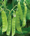 Oregon Sugar Pod II Pea Seeds