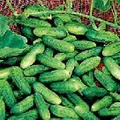 Cucumber/Homemade Pickling-500 Seeds