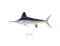 White Marlin (Kajikia albidus) 11x14 Open Editon Print