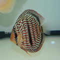 """4.5""""-5"""" Heckel x Red Turquoise Discus"""