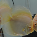 """4.5"""" Albino  White Butterfly Discus"""