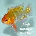"""1.25""""-1.5"""" Danziger Gold Ram"""