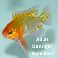 Danziger Gold Ram (Breeder Size)