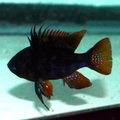 "2.5""+/- Danziger Black Knight Ram (Show Size Males)"