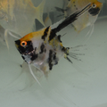 Danziger Assorted Koi Veil Angelfish (loonie size body)