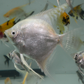 Danzinger White Crystal Angelfish (young adult)