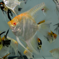 Danziger Albino Gold Marble Angelfish (adult)