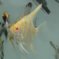 Danziger Albino Gold Marble Angelfish (nickel size body)