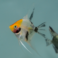 Danzinger Orange Head Panda Koi Angelfish (nickel size body)