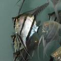 Danzinger Dantum Angelfish (twoonie size body)