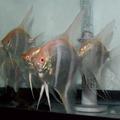 Danzinger Albino Dantum Angelfish (show size/quality)