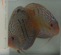 Guariba Blue Moon Heckel Cobalt Cross Discus Proven  Breeding Pair