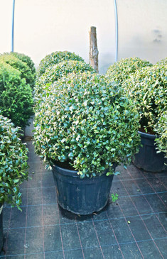 Ilex 'Washington' - Ball - 70/80cm ⌀