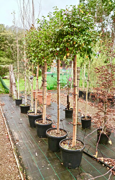 Betula 'Magical Globe'