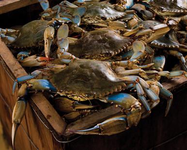 Live Louisiana Blue Crab