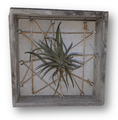 air plant and frame