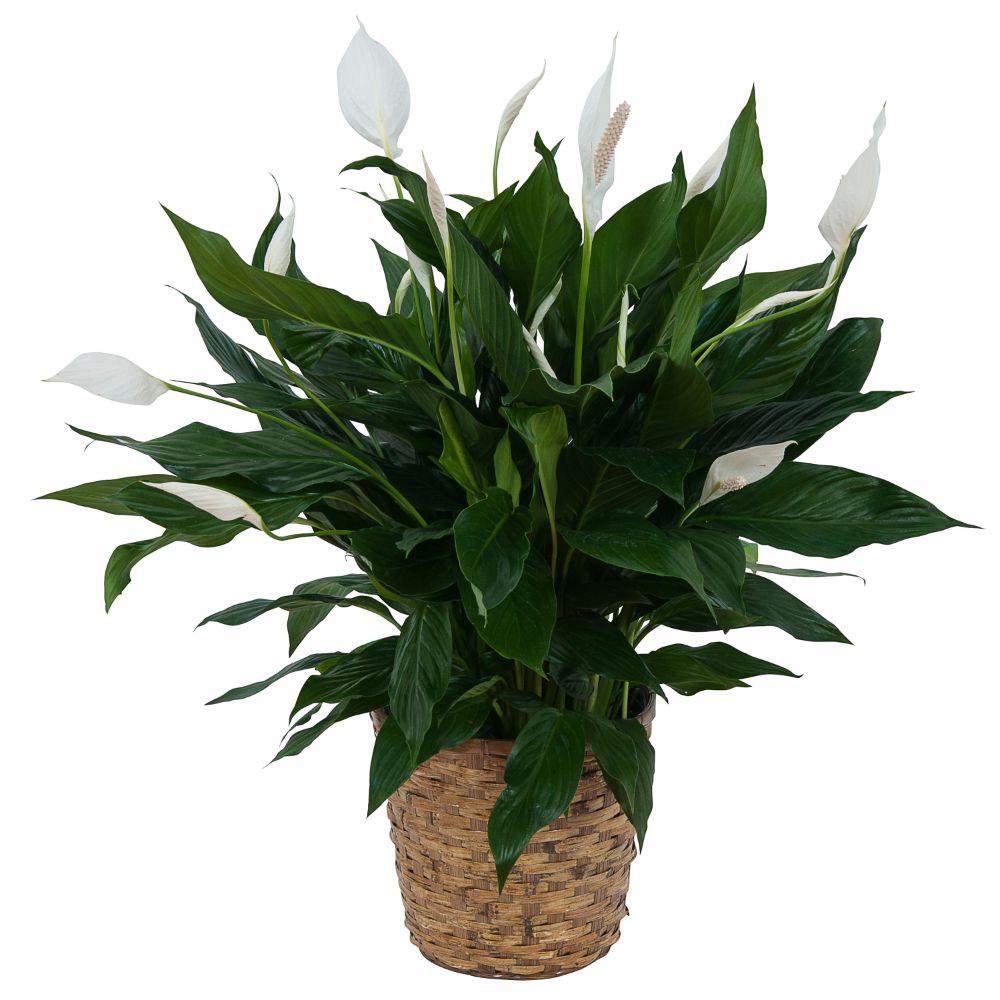 Peace lily plant in basket izmirmasajfo