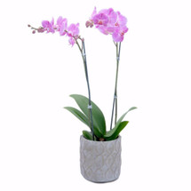 Purple Beauty Orchid