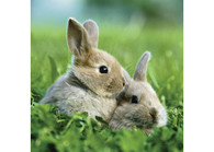 Ravensburger - Cute Bunnies Puzzle 3x49pc - RB08041-0 two bunnies