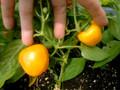 Vegetables - Pepper, Mini Orange Bell