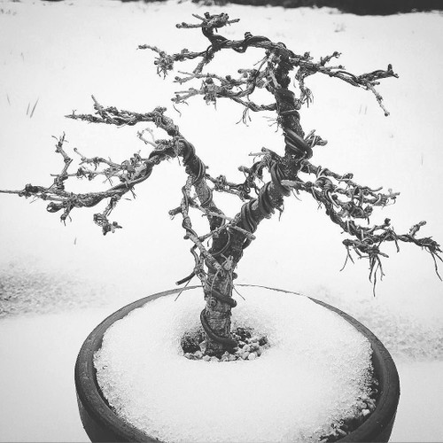 Winter Protection for you Bonsai and Pots