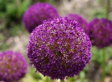 allium-big.jpg