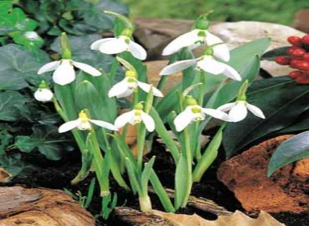 galanthus-elwesii.jpg