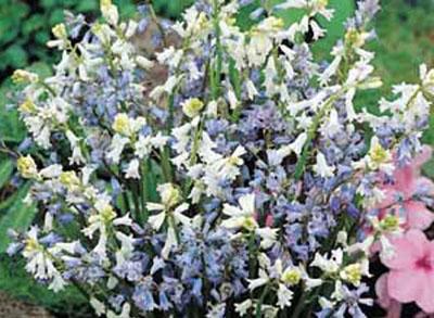 hyacinthus-amethystinus.jpg